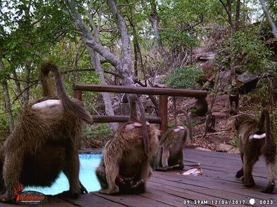 makweti-baboons