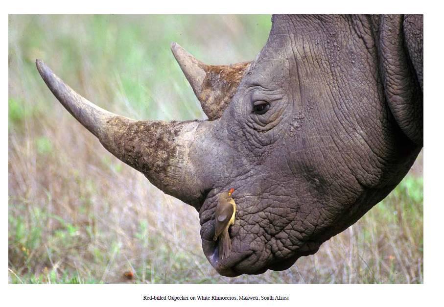 rhino-oxpecker-makweti