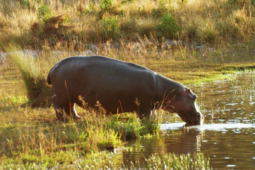 Adult Hippo at Makweti