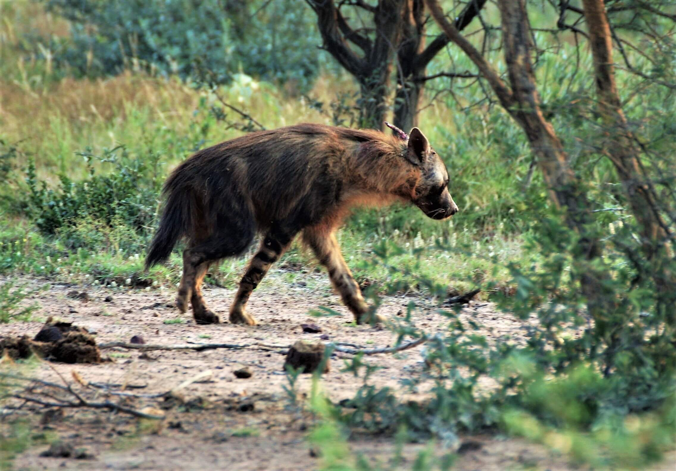 Behind The Scenes With The Brown Hyena
