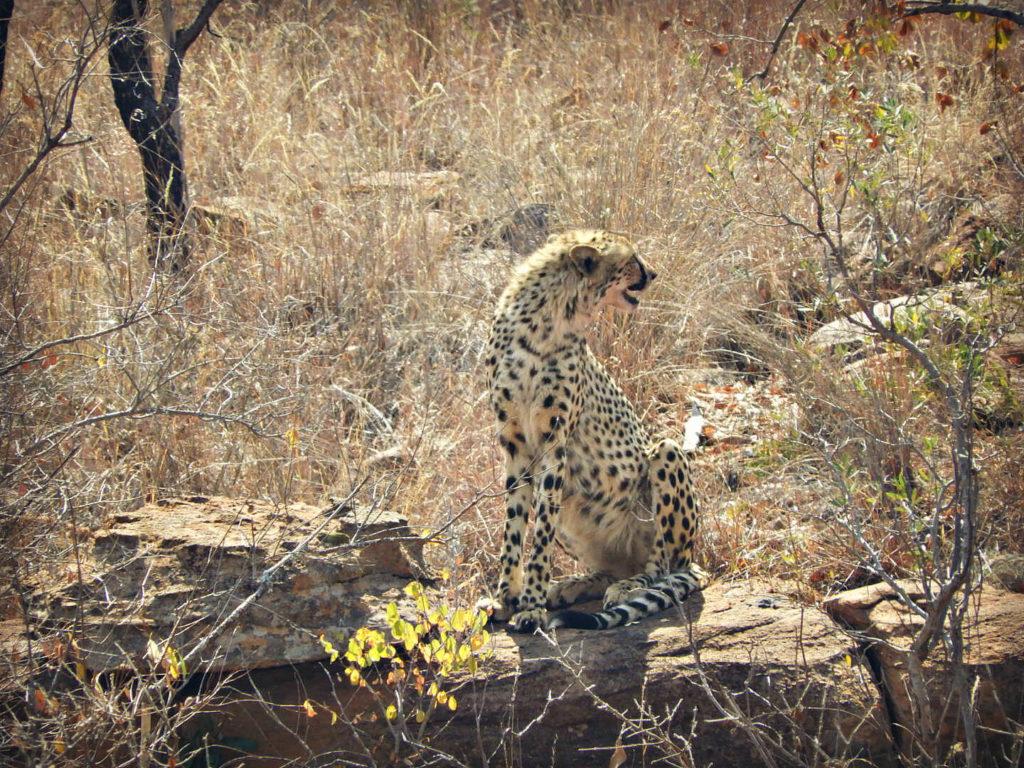 Cheetah Kill In Makweti Camp - Makweti Safari Lodge