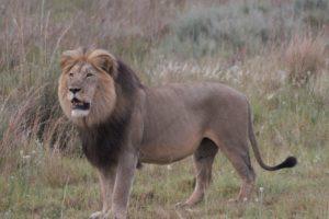 Dinokeng Male Lion - Welgevonden Reserve - January 2018