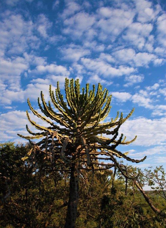 Bushveld Candelabra - The Makweti Tree - Euphorbia Cooperi