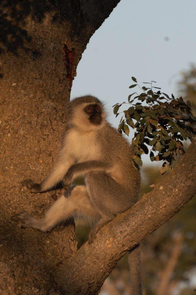 vervet-monkey-makweti