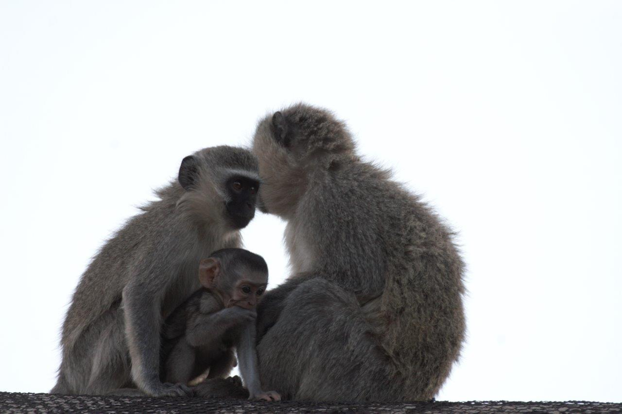 makweti-vervet-monkeys