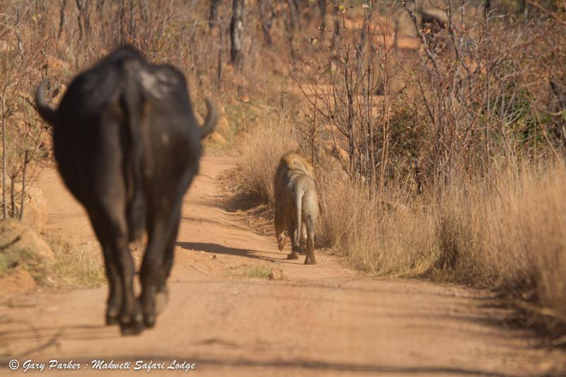 lion-buffalo-makweti