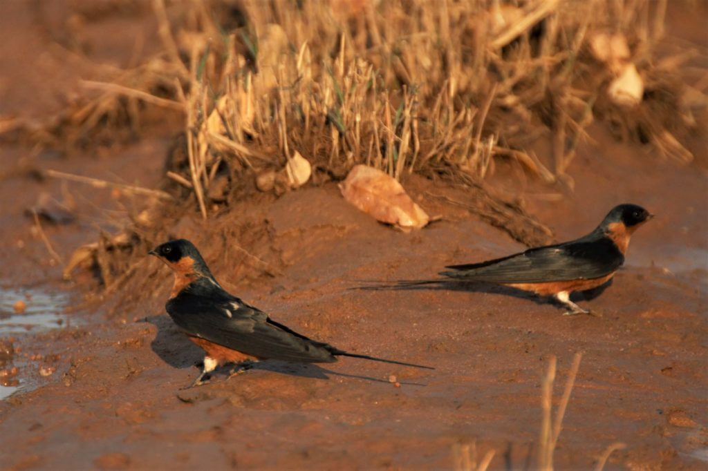 Redbreasted Swallow at Makweti Safari Lodge