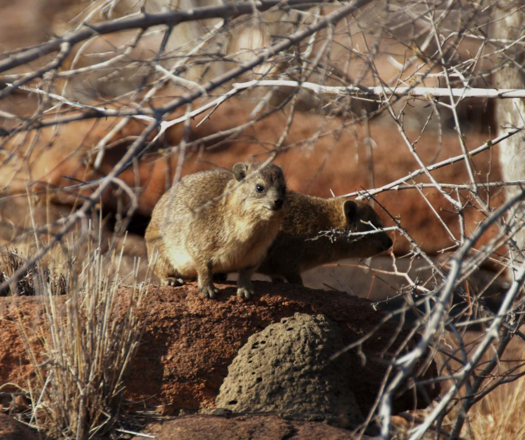 Learn More About the Rock Dassie - Makweti Safari Lodge