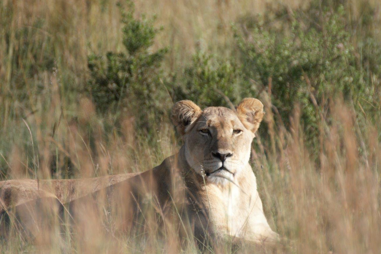 Southern Pride Female Lion March 2018