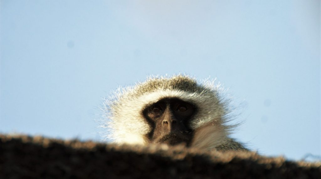 Vervet Monkey Male