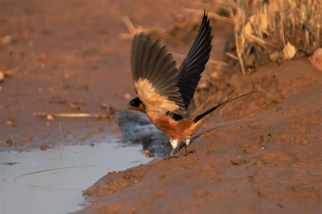 Red breasted swallow near Makweti
