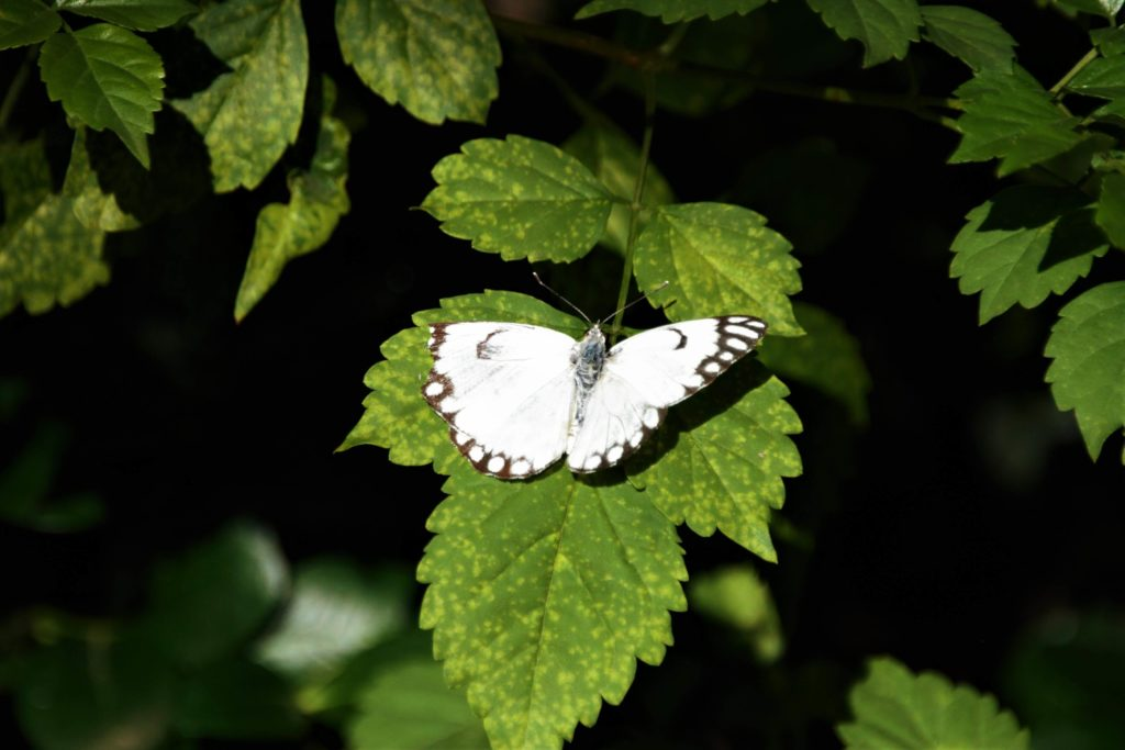 Image 1 - Brown-veined White