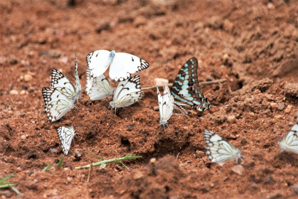 Brown-veined butterflies