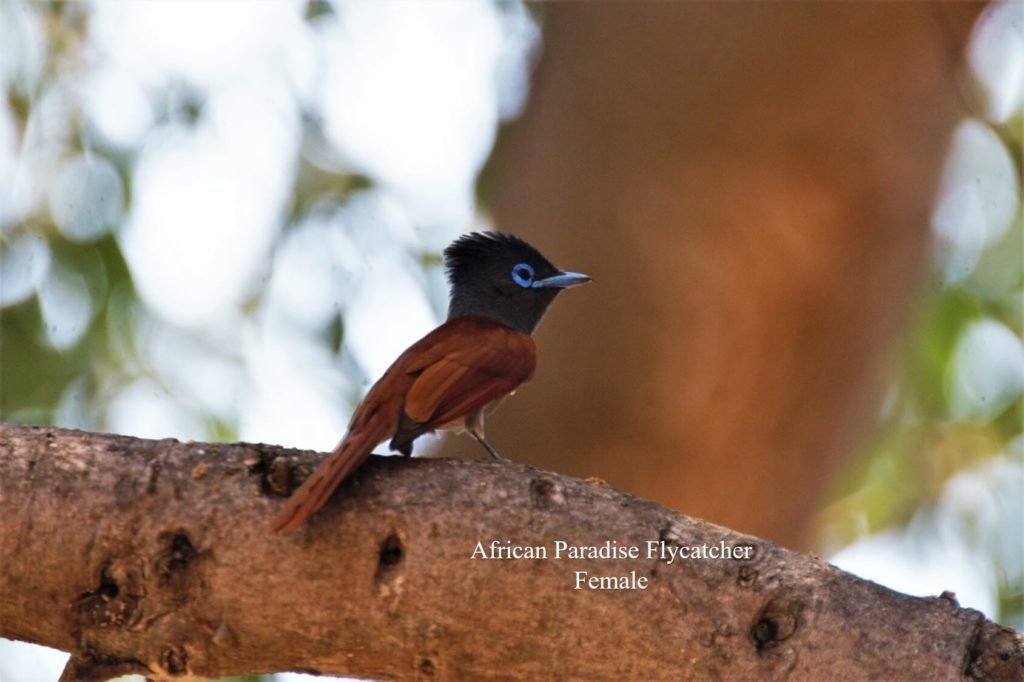 African Paradise Flycatcher female_WM