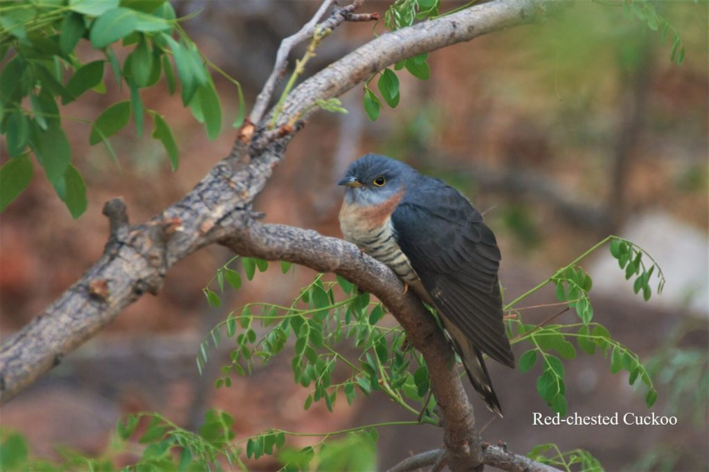 Red-chested Cuckoo_WM