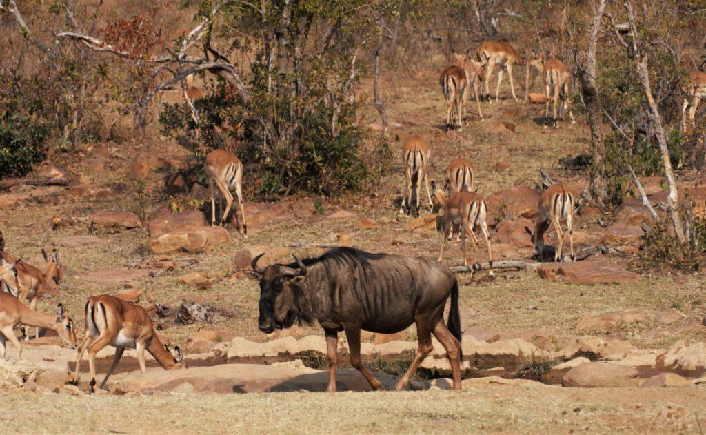 Wildebeest & Impala
