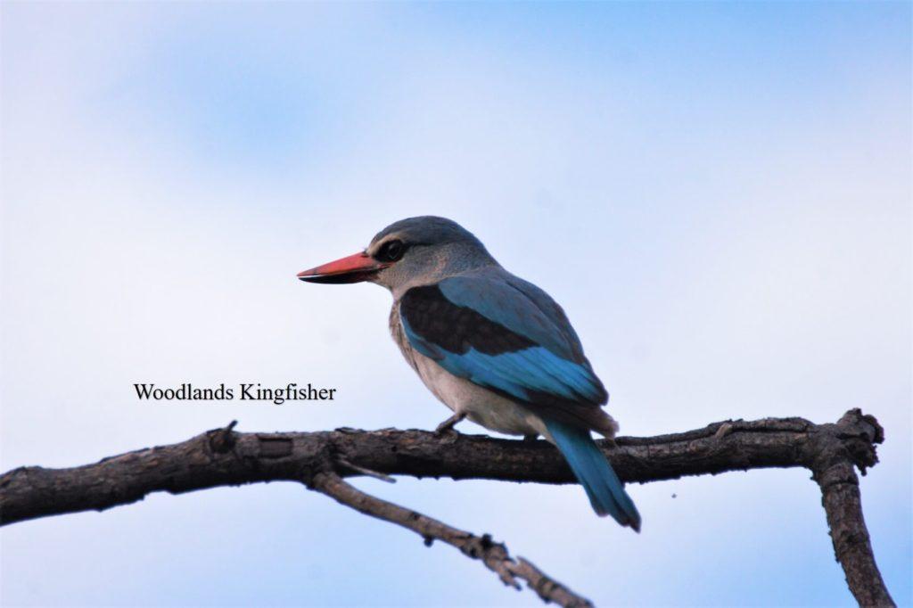 Woodlands Kingfisher_WM