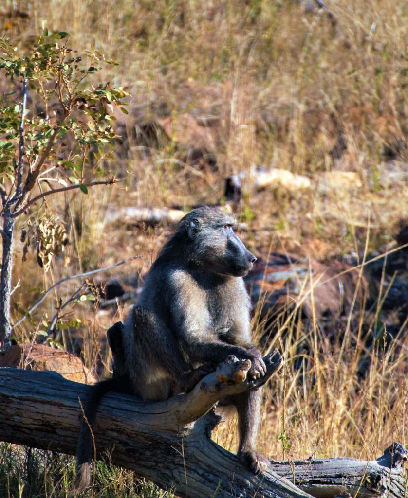 Baboon Male sentry