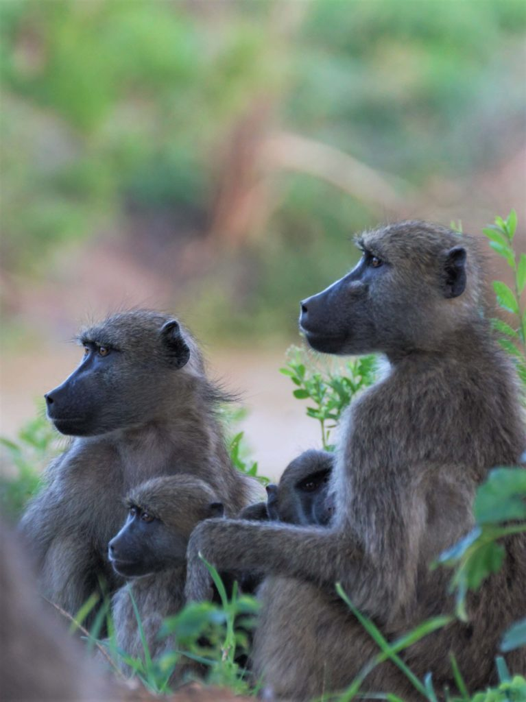 Chacma Baboons socialising