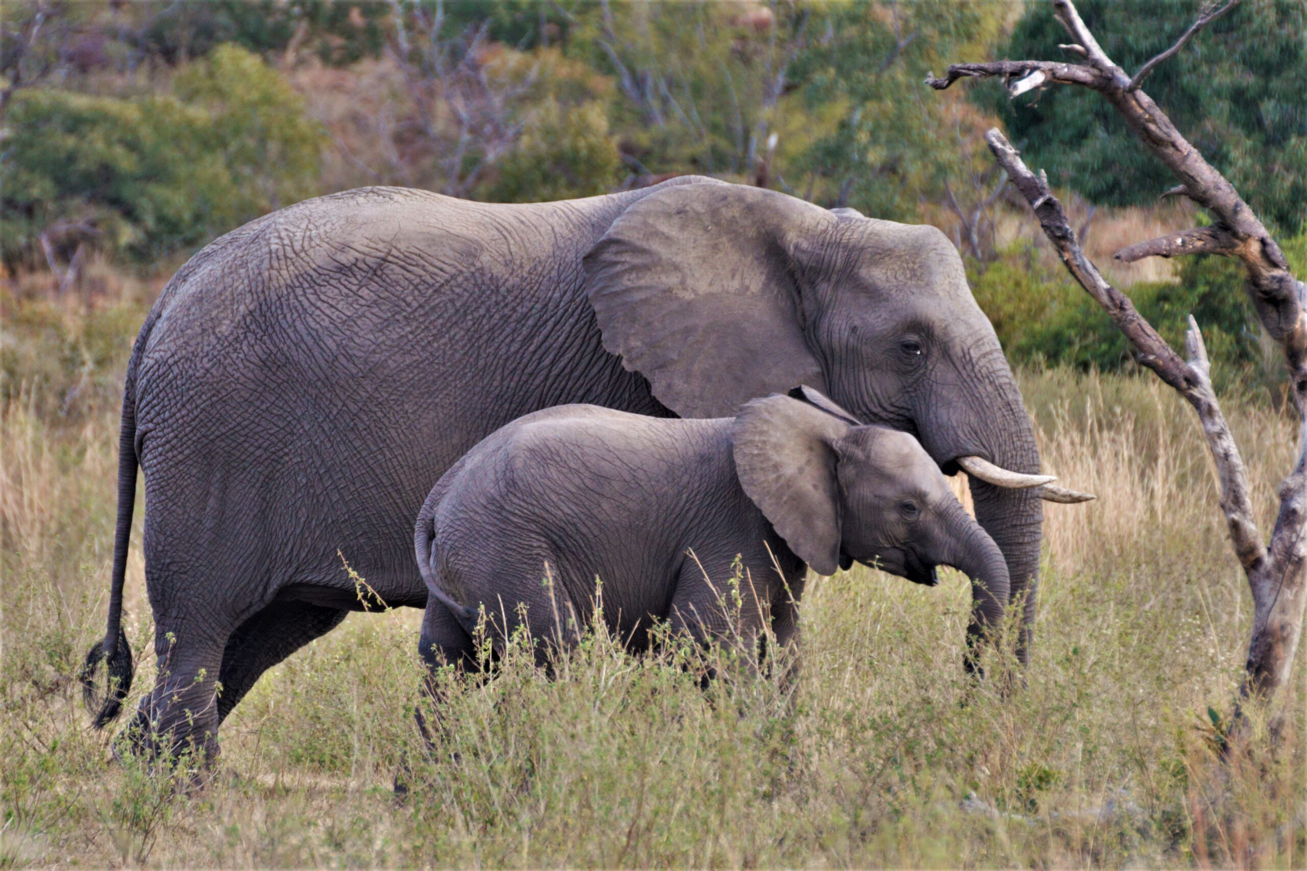 Matriarch elephant leads young