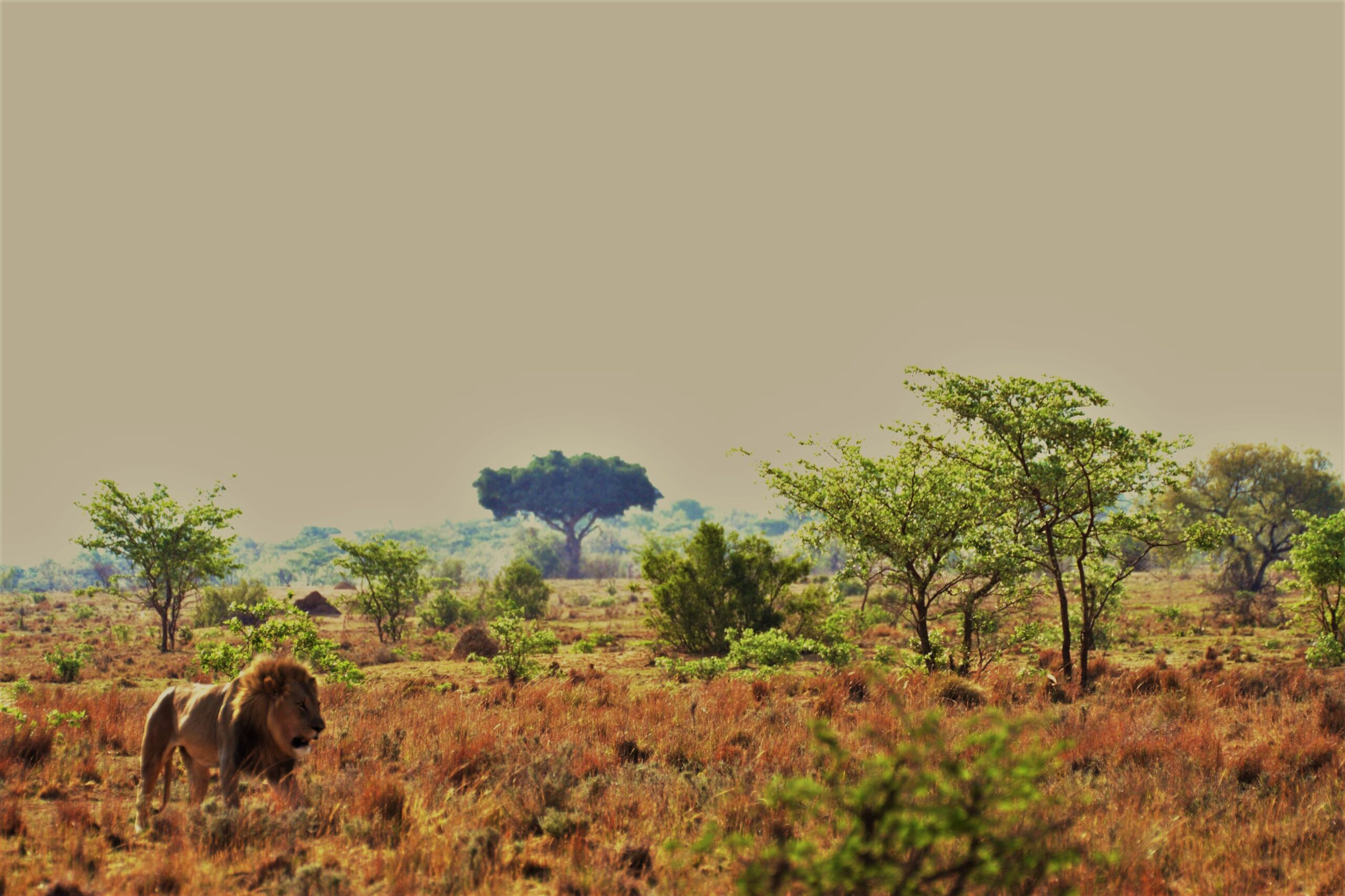 Lion on African Safari